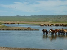 A herd of horses in the region of Lun (130 km west of Ulan Bator)