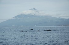 A group of pilot whales swimming in front of the volcano