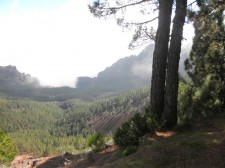 Pine forest in the mist of the Teide volcano