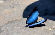 Rafting Extension – A 20 cm-wide morpho butterfly !