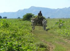 Buffalo cart on an island of the Irrawaddy River near Bagan