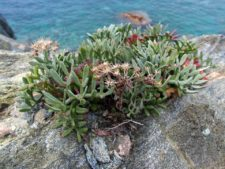 A rock samphire (Crithmum maritimum) on the cliffs of Tinos