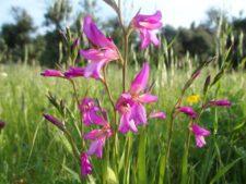 A gladiolus