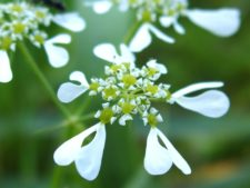 A beautiful umbellifera, the Mediterranean hartwort (Tordylium apulum)