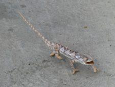 Little chameleon on the hotel pathway, Maun