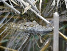 Young crocodile in training in the north of the delta