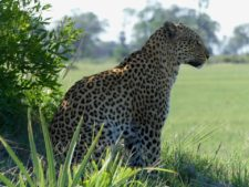 Pensive female leopard — or is it on the prowl?