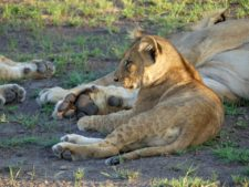 Lion cub in security among its pride in the dry plains of the delta