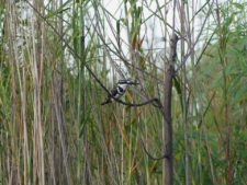 Pied kingfisher on the alert