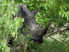 An imposing but very shy white rhino