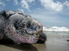 Leatherback turtle on a beach in Trinidad
