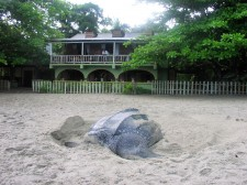 Leatherback turtle in front of the Grande Rivière hotel in Trinidad