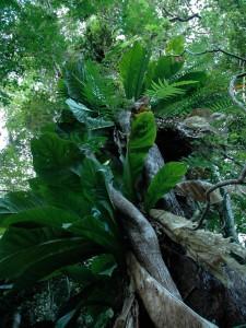 Epiphytic plants on Gros Piton, Sainte Lucie