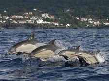 A dolphin family with the island in the background