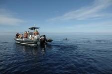 A pilot whale near the zodiac