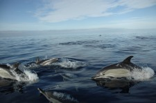A group of dolphins rides along with the zodiac