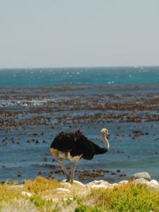 An ostrich strolling along the seaside