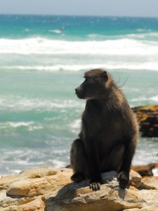 A Cape baboon surveying his realm