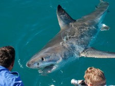 A curious Great White