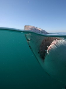Another view of the Great White's teeth from inside a cage