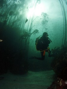 Diving in the kelp forest, looking for the Bluntnose sixgill shark