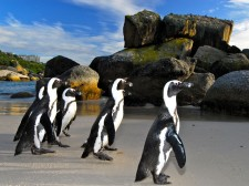 Meeting the African penguins