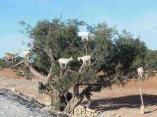 Goats climbing an argan tree