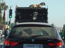 Traffic scene in Marrakech