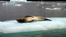 A leopard seal on the island of Chiloé sunbathing (Chile)