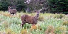 Pudú deer (Chile)