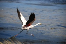 A flamingo taking off from a lagoon