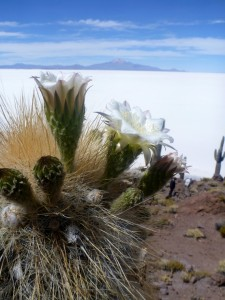 A flowering cactus in the Salar