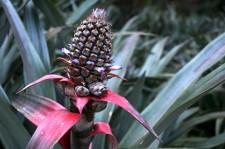 A flowering pineapple