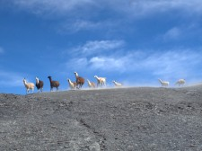 A flock of llamas in the mountain