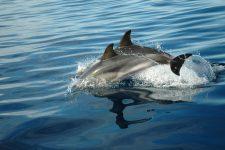 Dolphins swimming near the zodiac