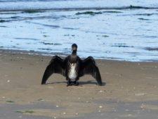 """Un cormoran """"en étendard"""" sur la plage, en train de se sécher"""