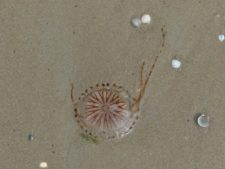 Une méduse échouée sur la plage