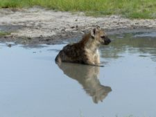 A spotted hyena cooling off