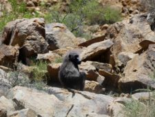 A pensive baboon seen on our way to the Namib desert