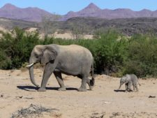 A mother elephant and her one-month-old calf