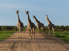 A group of giraffes facing a leopard