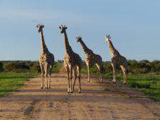 A group of giraffes facing a leopard