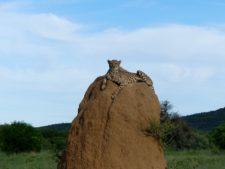 A cheetah on its observation promontory