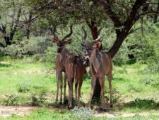 A group of young kudus in Okonjima Reserve