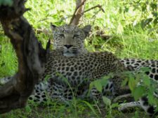 A mother leopard and her two cubs in Okonjima Reserve