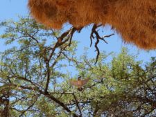 Sociable weavers and their community nest