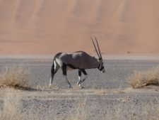An oryx in front of the Namib dunes near Sossusvlei