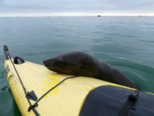 Surprise visit of a fur seal at Pelican Point